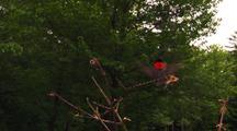 Male Ruby-Throated Hummingbird, Archilochus Colubris Lands On Branch