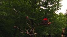 Male Ruby-Throated Hummingbird, Archilochus Colubris, On Branch Flares Out Wings,