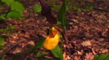 Close-Up Yellow Lady Slipper Orchid