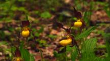 Close-Up Yellow Lady Slipper Orchids
