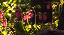 Group Of Pink Lady Slipper Orchids In Forest