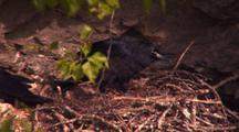 Raven Nest (Corvus Corax), Common Crow
