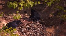 Raven Nest (Corvus Corax), Common Crow