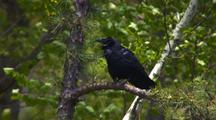 Common Raven On Branch, Vocalizes