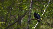 Common Raven On Branch, Preens