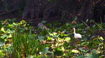 American White Ibis Feeds In Swamp