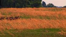 White-Tailed Deer Graze In Golden Field
