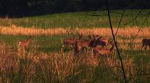 White Tailed Deer Run, Graze In Field