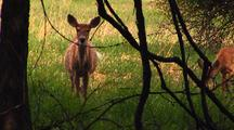 White Tailed Deer Walk Behind Branches