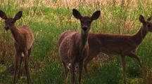 White Tailed Deer Stare At Camera