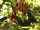 Green-Backed Firecrown (Sephanoides Sephaniodes)-Hummingbird Feeding On A Hardy Fuchsia (Fuchsia Magellanica)