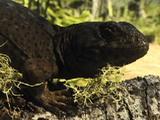 Collared Lizard, Pan Tail To Head