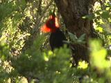 Male Magellanic Woodpecker Travels Up Tree Trunk