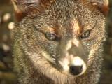 Darwin's Fox (Pseudalopex Fulvipes)