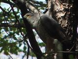 Chilean Hawk In Tree