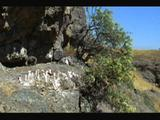 Andean Condor Chick Above Scenic Valley