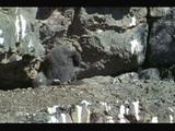 Andean Condor Chick