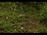 Darwin's Fox Moves Around Forest