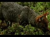 Darwin's Fox Feeds Among Low Plants