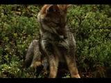 Darwin's Foxes