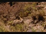 Hippocamelus Antisensis, Taruca, Huemul Del Norte, Taruca Deer