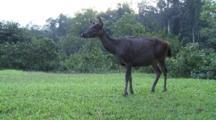 Sambar Deer Walking Out Of Frame