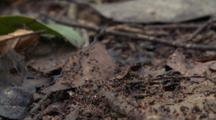 Ants Crawling In Formation On Leaf Litter
