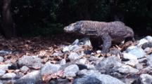 Komodo Dragon Walking On Rocky Shore