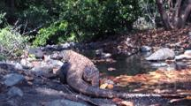 Komodo Dragon On Rocky Shore