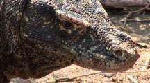 Komodo Dragon Walking Away From Camera