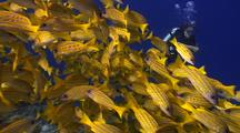 School Of Yellow Snapper With Diver, Maldives
