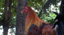 Domestic Chicken