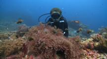 Diver Looking At Several Blackfooted Anemonefish In Magnificent Sea Anemone, The Maldives