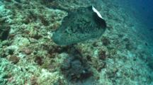 Marbled Ray On Reef Wall, Swimming To And Under Camera, Alimatha Channel, Vaavu Atoll, The Maldives