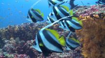 School Of Longfin Bannerfish On Coral Reef, Meemu Atoll, The Maldives