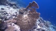 Large Overturned Table Coral At Reef Edge, Meemu Atoll, The Maldives