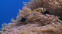 Blackfooted Anemonefish In Sea Anemone On Coral Reef, Surrounded By School Of Scalefin Anthias, Meemu Atoll, The Maldives