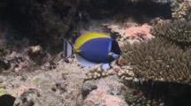 Powderblue Surgeonfish At A Cleaning Station On Coral Reef, Meemu Atoll, The Maldives