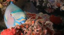 Sheephead Parrotfish Sleeping On Reef, Swims Away, Meemu Atoll, The Maldives