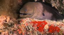 Giant Moray Eel, Head Sticking Out Of Hole, Meemu Atoll, The Maldives