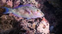 Longnose Parrotfish Sleeping On Reef, Profile, Meemu Atoll, The Maldives