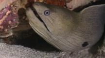 Giant Moray Eel, Head Sticking Out Of Crevice Near Sea Floor, Cu, Meemu Atoll, The Maldives