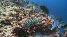 A Scrawled Filefish, A Young Napoleon Wrasse And Several Bluefin Trevallies Feeding On Reef, From Above, Vaavu Atoll, The Maldives