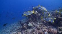 School Of Oriental Sweetlips On Reef, Several Swims Away From View, Vaavu Atoll, The Maldives