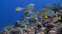 School Of Oriental Sweetlips And One Spot Snappers On Reef, Vaavu Atoll, The Maldives