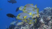 School Of Oriental Sweetlips And Onespot Snappers On Reef, Chromis Swims Through Frame, Cu, Vaavu Atoll, The Maldives