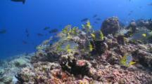 School Of Oriental Sweetlips And Onespot Snappers On Coral Reef, Cu, Vaavu Atoll, The Maldives