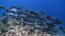 School Of Black Snappers Drifting Slowly Above Reef, Profile, Side View, Vaavu Atoll, The Maldives