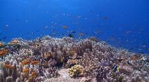 Schools Of Scalefin Anthias And Redtooth Triggerfish Over Leather Coral Garden, Vaavu Atoll, The Maldives