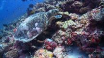 Hawksbill Turtle Feeding On Coral Reef Wall, A Checkerboard Wrasse Swims Nearby, Vaavu Atoll, The Maldives